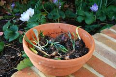Pot of flower bulbs Stock Photography