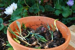Pot of flower bulbs with shoots Stock Photography