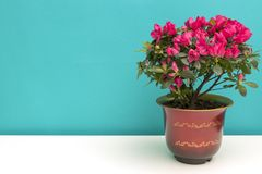 A pot of flowering impatiens walleriana. In a suburban home in front of a turquoise background Royalty Free Stock Images