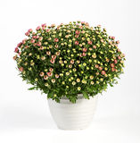 Pot of flowering pink chrysanthemums royalty free stock image