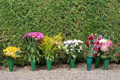 Pot Flowers. A row of pot flowers in front of green hedge royalty free stock photos