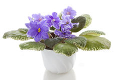 Pot flowers saintpaulia flower Royalty Free Stock Photo
