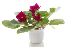 Pot flowers saintpaulia flower Stock Photos