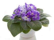 Pot flowers saintpaulia flower Royalty Free Stock Image