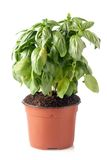 Pot of fresh basil Stock Photo
