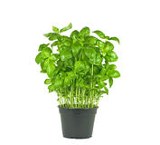 Fresh basil plant Stock Photos