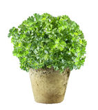 Pot of fresh flat leaf parsley Royalty Free Stock Image