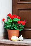 Pot with  geranium flowers Royalty Free Stock Image