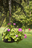 Pot of geraniums flowers Royalty Free Stock Photography