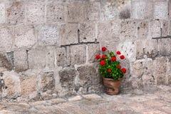Pot of geraniums Stock Images