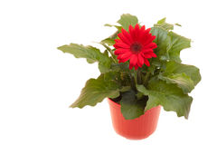 Pot With Gerbera On White Royalty Free Stock Images