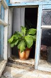 Pot in a pot on the open window stock photography