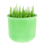 Pot with green oat grass Royalty Free Stock Images
