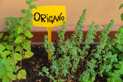 Pot with green oregano Royalty Free Stock Images