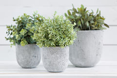 Pot green plants. Pot plants in white pots and concrete on a background of white boards Stock Image
