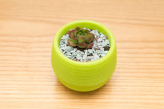 Pot of green succulent plant Stock Photography