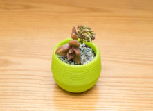 Pot of green succulent plant Royalty Free Stock Photos