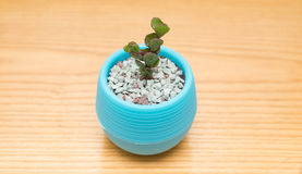 Pot of green succulent plant Royalty Free Stock Image