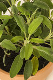Pot herb sage in plant pot Stock Images
