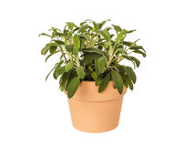 Pot herb sage in plant pot, isolated Stock Photography