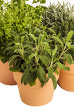 Pot herbs thyme, lavender, oregano, sage Stock Images