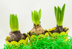 A pot of hyacinth flowers with bulbs on a white background. Stock Photos