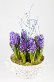 Pot with hyacinths Royalty Free Stock Photography