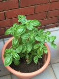 Pot of italian basil Stock Image