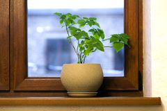 Pot jaune avec la plante verte sur le filon-couche en bois de fenêtre Photos stock