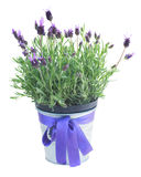 Pot of lavender flowers on white Stock Images