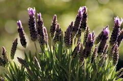 Pot Lavender Lavandula stoechas in the window royalty free stock images