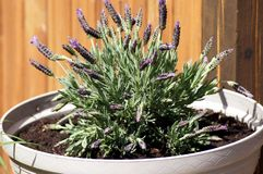 Pot of lavender in the pot on the terrace stock image