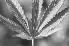 Pot Leaf. A marijuana leaf in black and white stock photography
