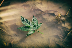 Pot Leaf in a Puddle. A marijuana leaf floating in a rain puddle with late afternoon light royalty free stock photography