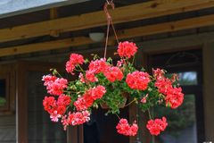 Pot with living coral flowers of ampella pelargonium. Hanging on a summer terrace stock images