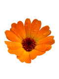 Pot marigold. Healthy herb isolated royalty free stock image