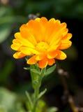 Pot marigold. (Calendula officinalis) in the garden Royalty Free Stock Photo