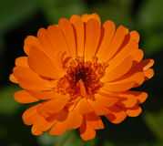 Pot marigold. One pot marigold in the garden Royalty Free Stock Photography