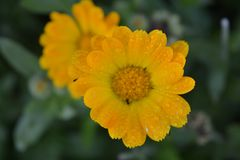 The pot marigold - Calendula officialis Orange flower with small rain drops Medicinals herbs. The pot marigold - Calendula officinalis - picture of beautiful Stock Photo
