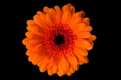 Pot marigold (calendula officinalis) Royalty Free Stock Images