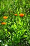 Pot marigold (Calendula officinalis) Stock Photography