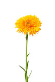 Pot marigold (Calendula officinalis) Stock Photo