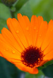 Pot marigold (Calendula officinalis) Stock Photo