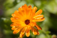 Pot marigold (Calendula officinalis) field. Stock Photo