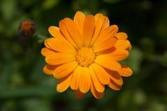 Pot marigold Stock Image