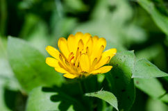 Pot marigold Royalty Free Stock Image