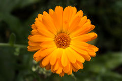 Pot marigold. (Calendula officinalis) isolated on blur background Royalty Free Stock Images