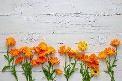 Pot Marigold - Calendula officinalis. Pot Marigold Calendula officinalis on white table Stock Photos