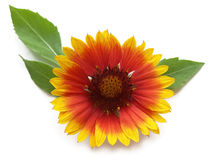 Pot marigold (Calendula officinalis). Well known for its many health benefits royalty free stock photos