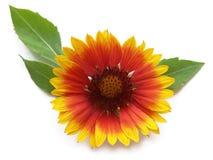 Pot marigold (Calendula officinalis) Royalty Free Stock Photos